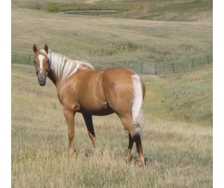 Gold-As-Sun Horse Supplement for Palominos, Buckskins, Cremellos, and Duns.  For the Ultimate Rich Gold Shine.  Free Shipping on orders above $100.  Proudly Made in the USA.