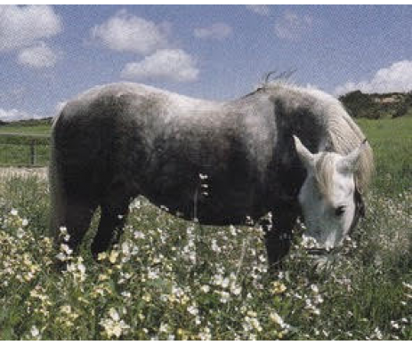 Silver Horse Supplement brings out the dappled, healthy best in greys and other dappled beauties.  Made in the USA-naturally!   Free Shipping on orders above $100.